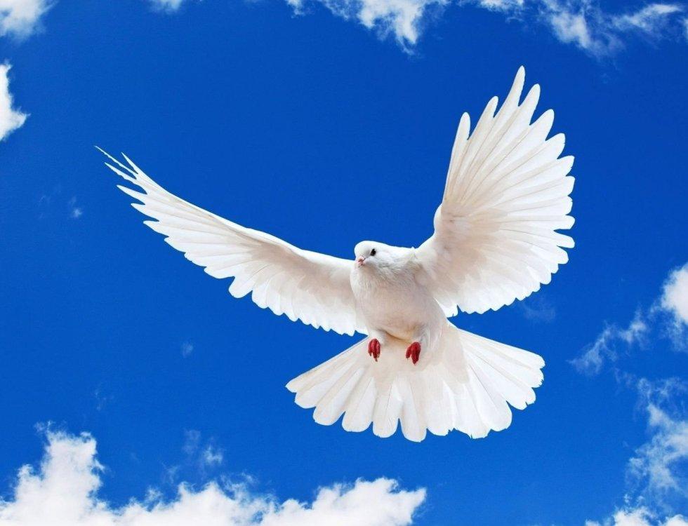 Copy-of-white-dove-1